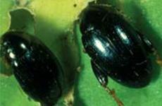 flea beetle in beetroot