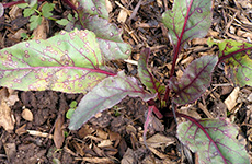 Cercospora Leaf spot in Beetroot