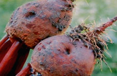 Rhizoctonia root rot in Beetroot
